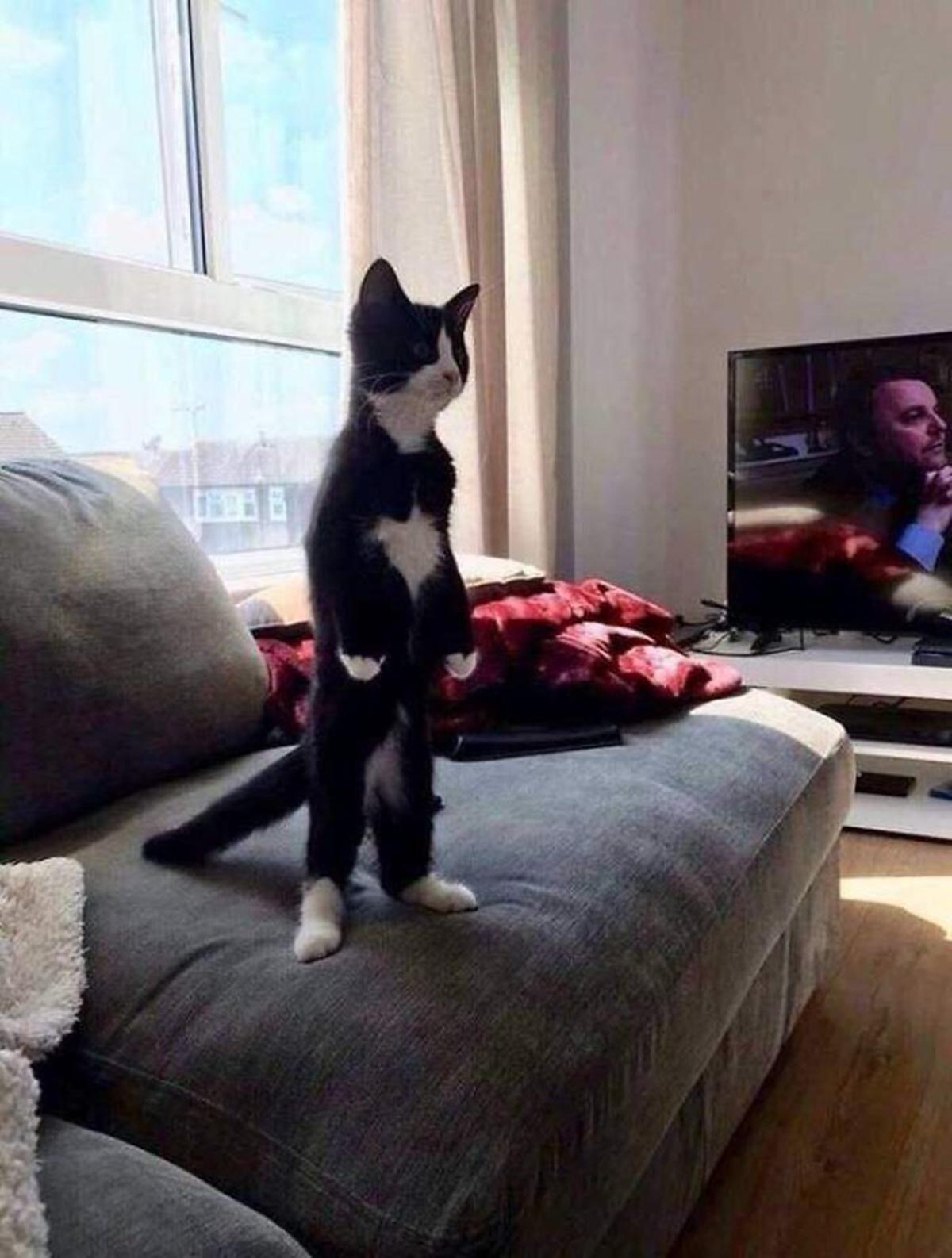 gatto divano