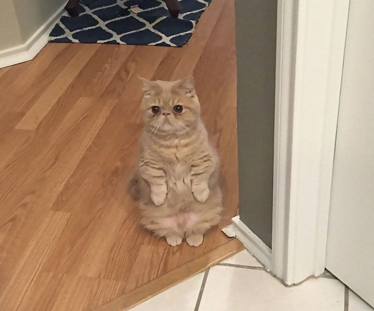 gatto cucina