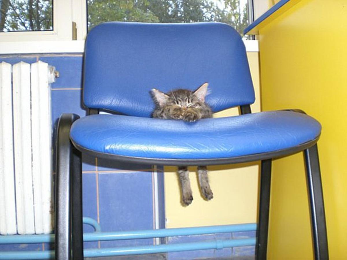 gatto sedia