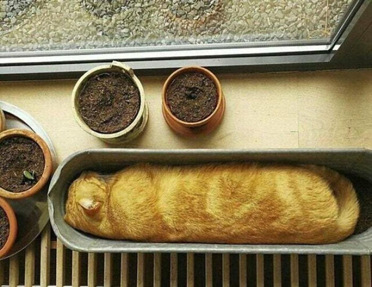 gatto baguette
