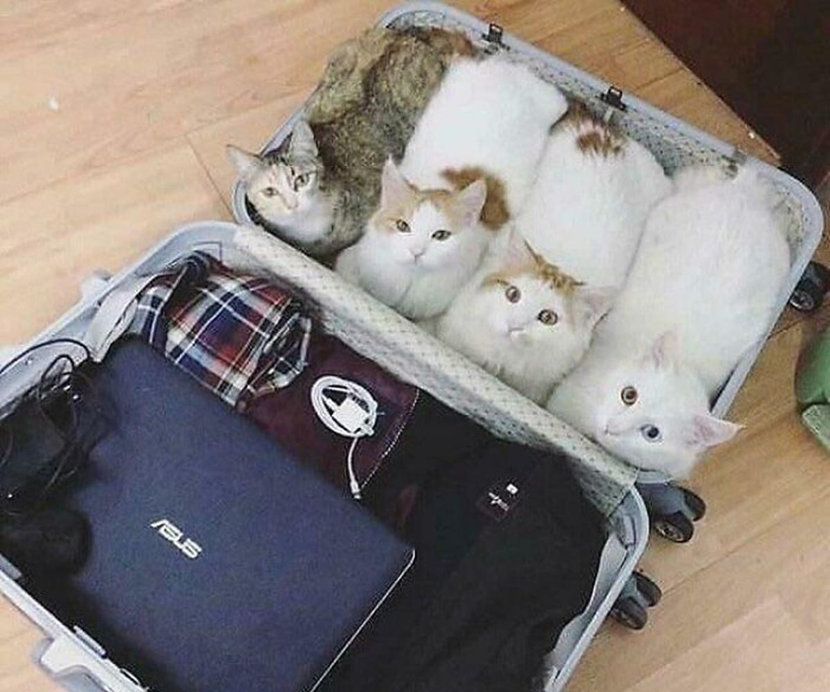 gatti valigia