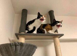 gatti attacco