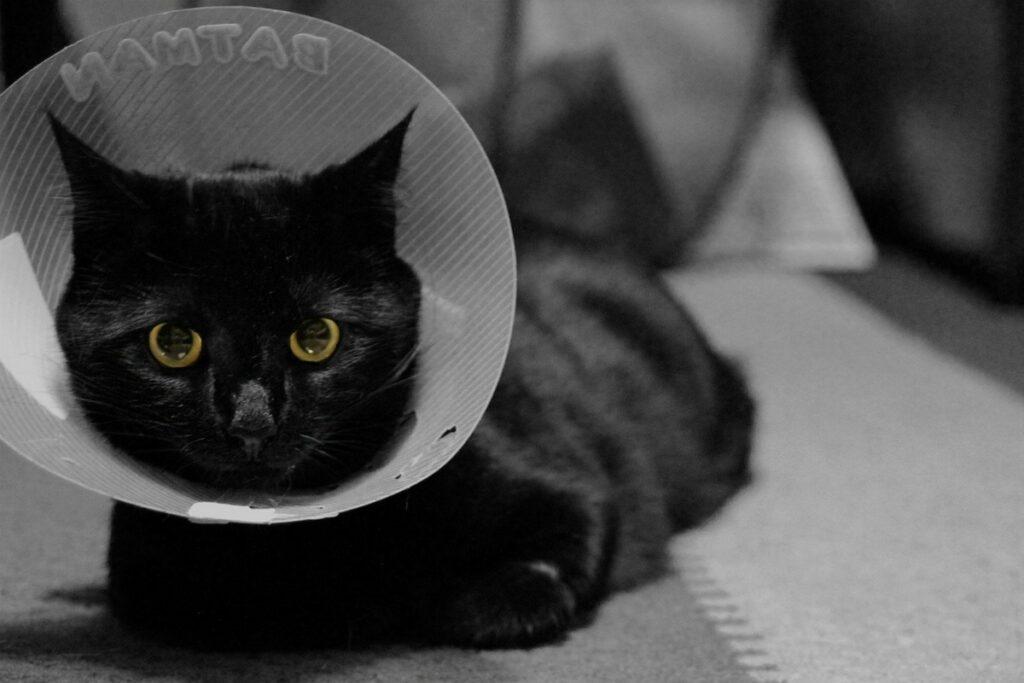 gatto nero dolce