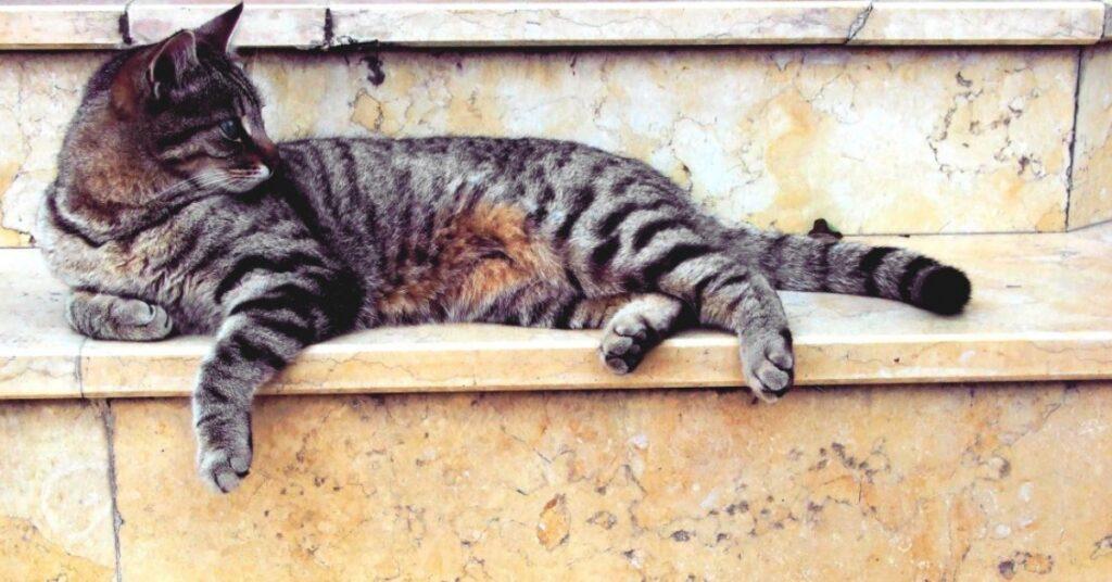 gatto tigrato sdraiato