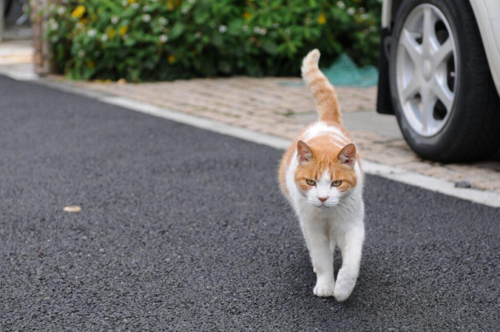 gatto bianco arancione