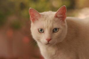 micio bianco occhi