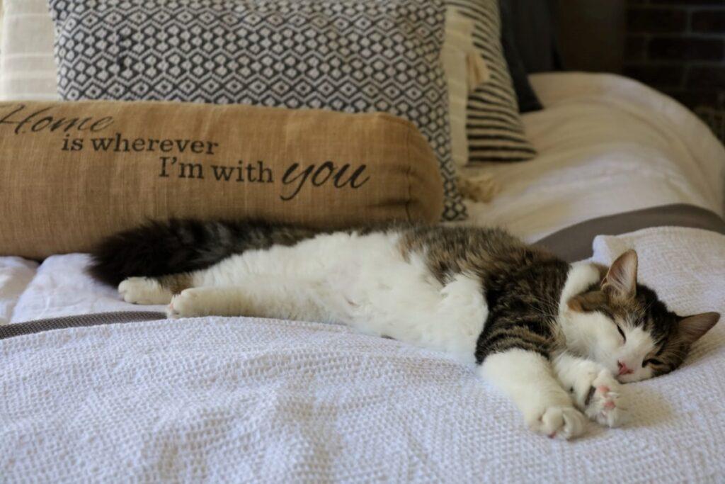 felino sonnellino dolce