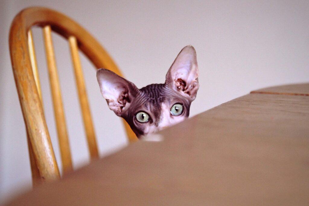 felino tavolo seduto