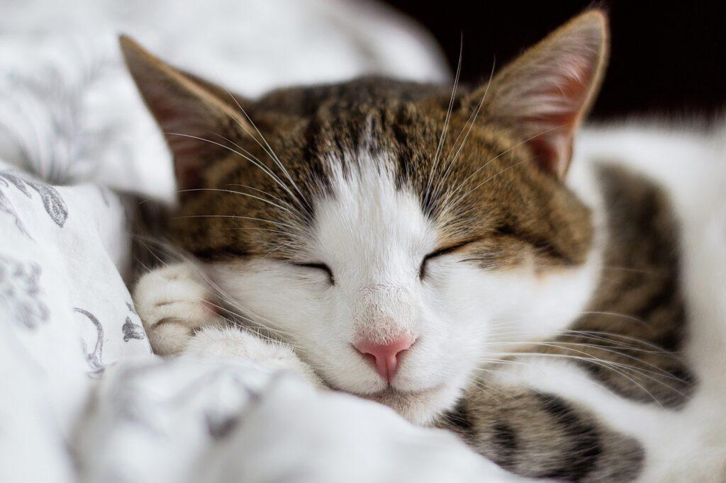 gatto sonnellino dormire