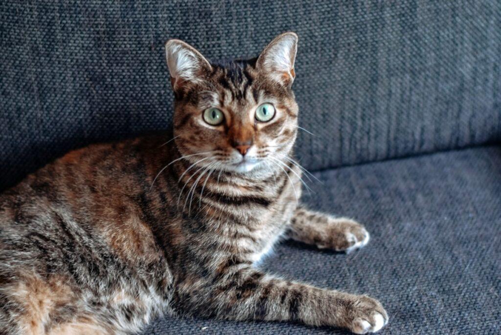 gatto divano seduto