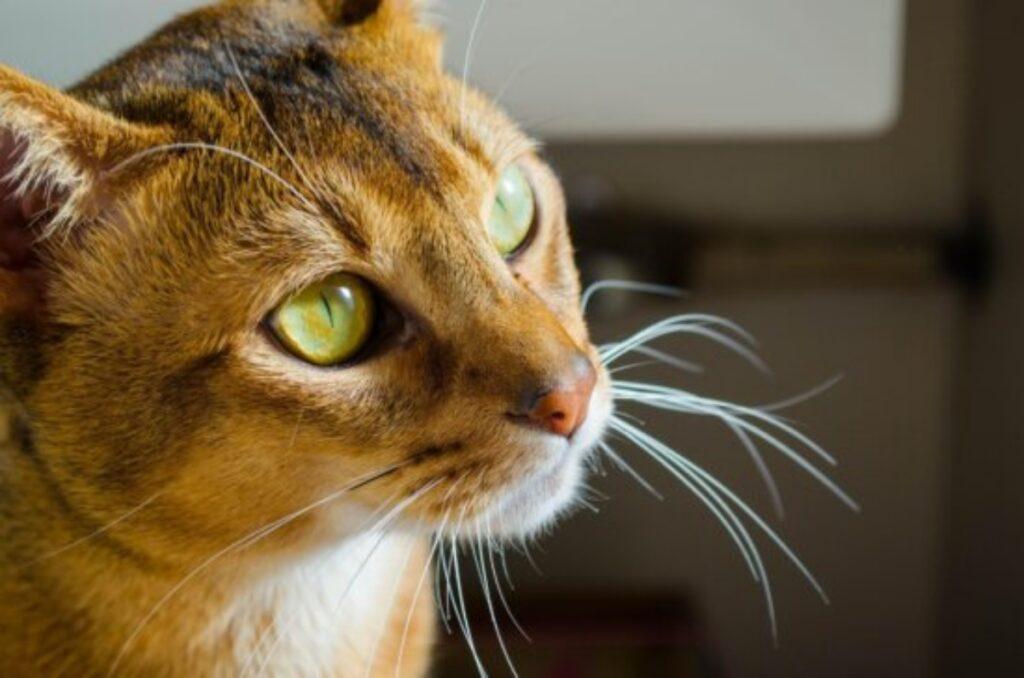 felino occhi stupendi