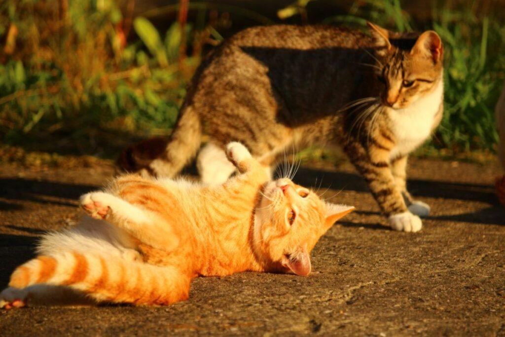 gatti dolci giocare