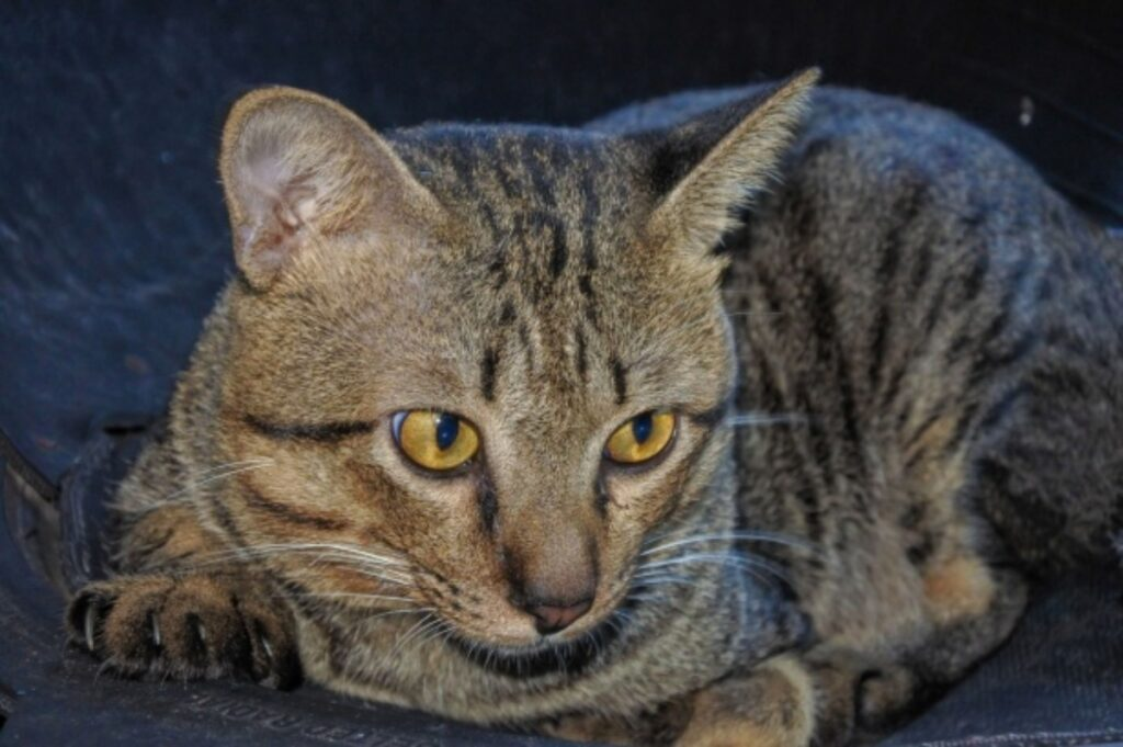 gatto soriano fantastico
