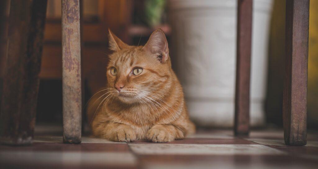 felino arancione guarda