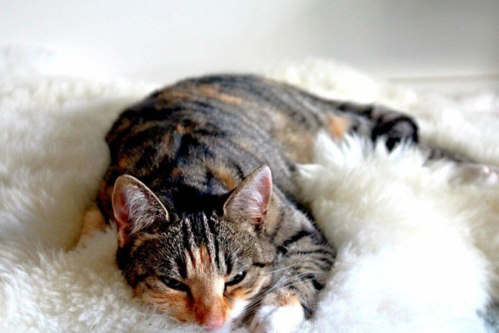 felino dolce accoccolato