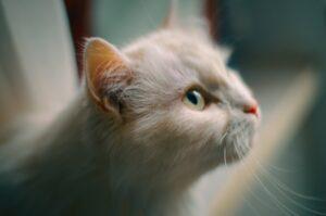 micio bianco dolce