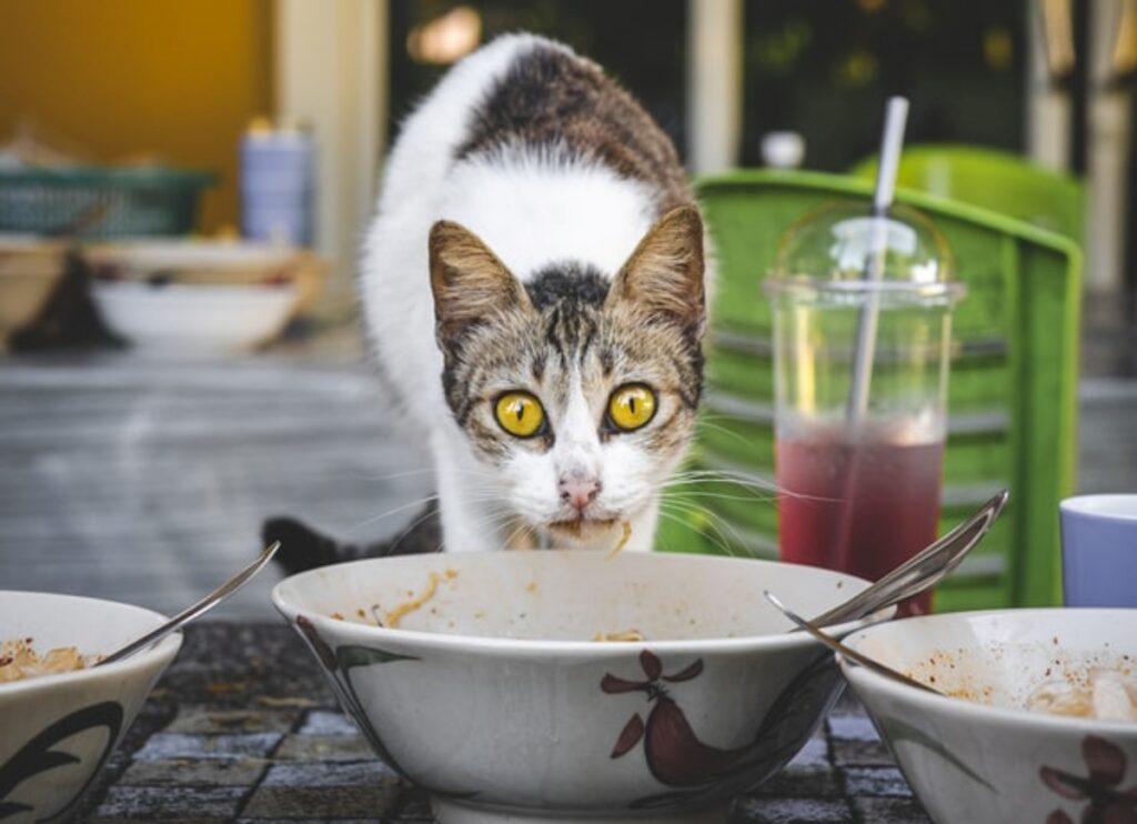 felino mangia piatto
