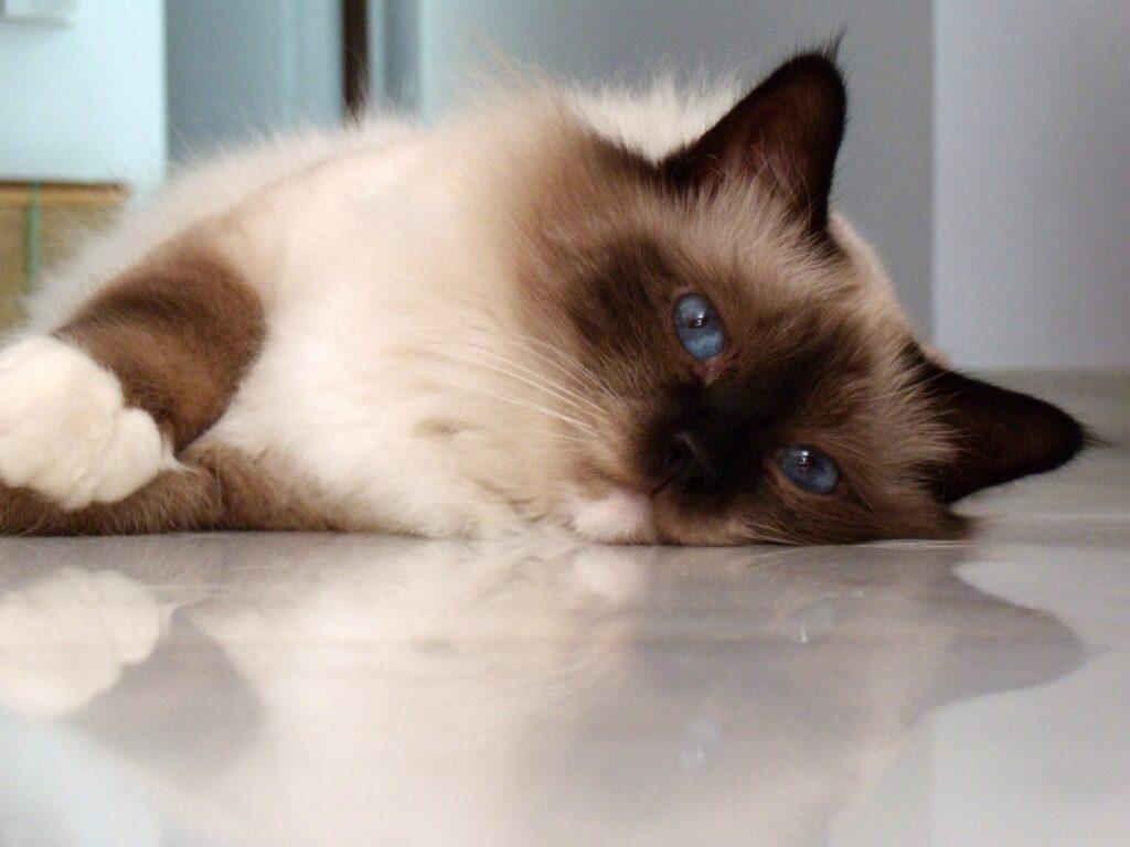 felino peloso muso