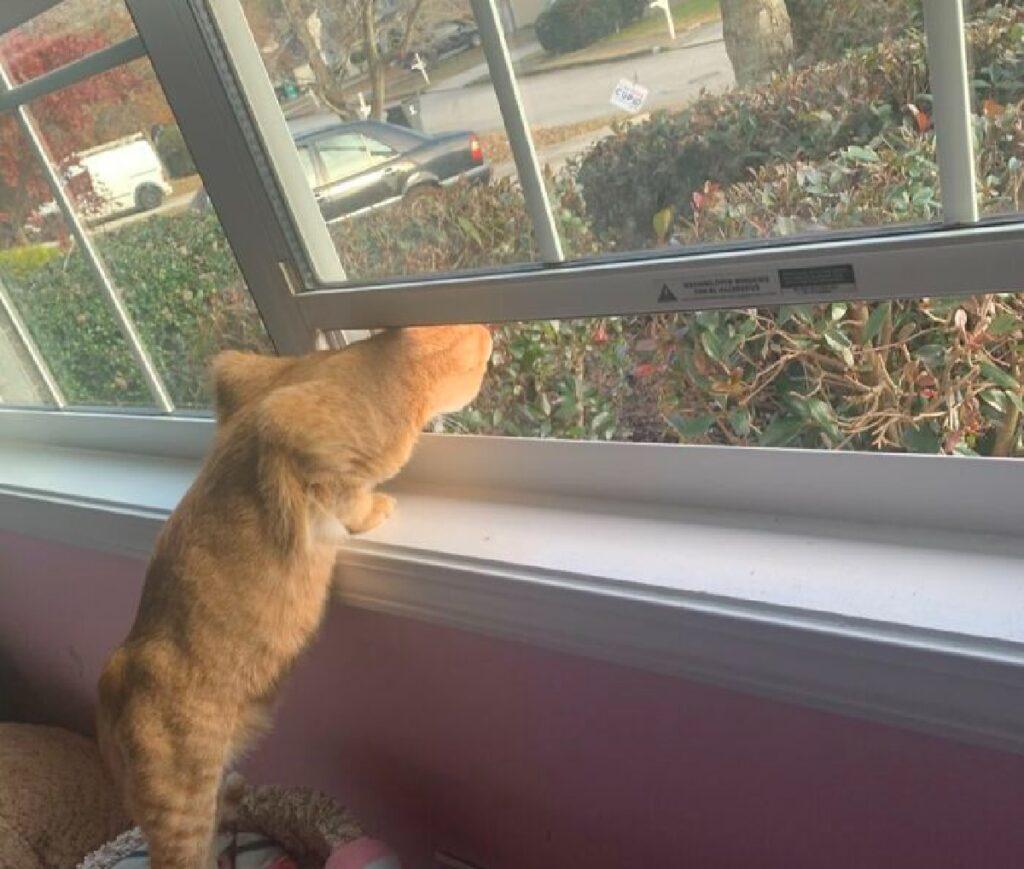 gatto rosso si affaccia dalla finestra