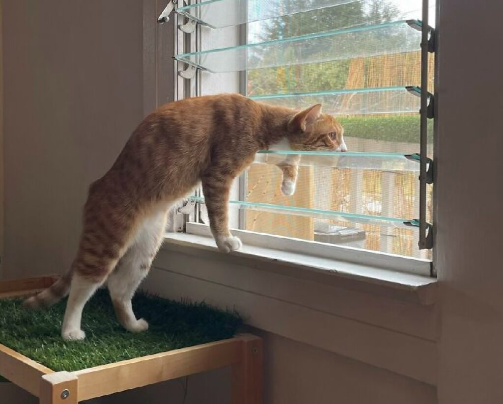 gattino rosso curiosità