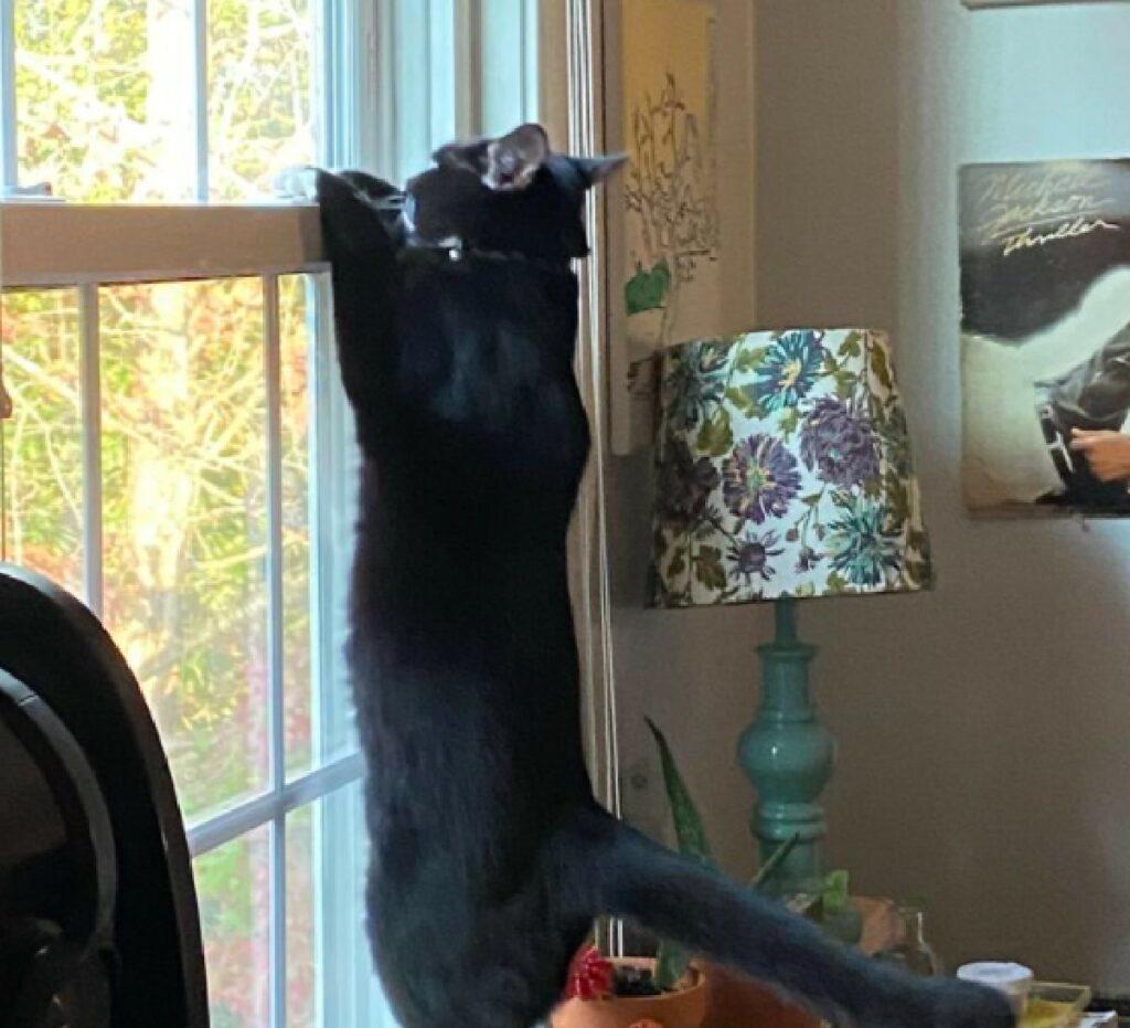 gatto si arrampica vetro