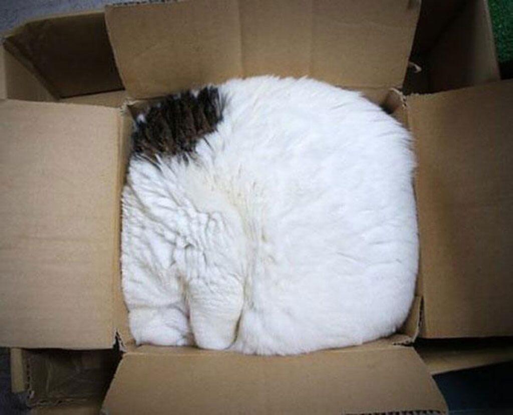 felino scatola racchiuso