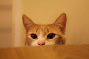 micio dolce guarda