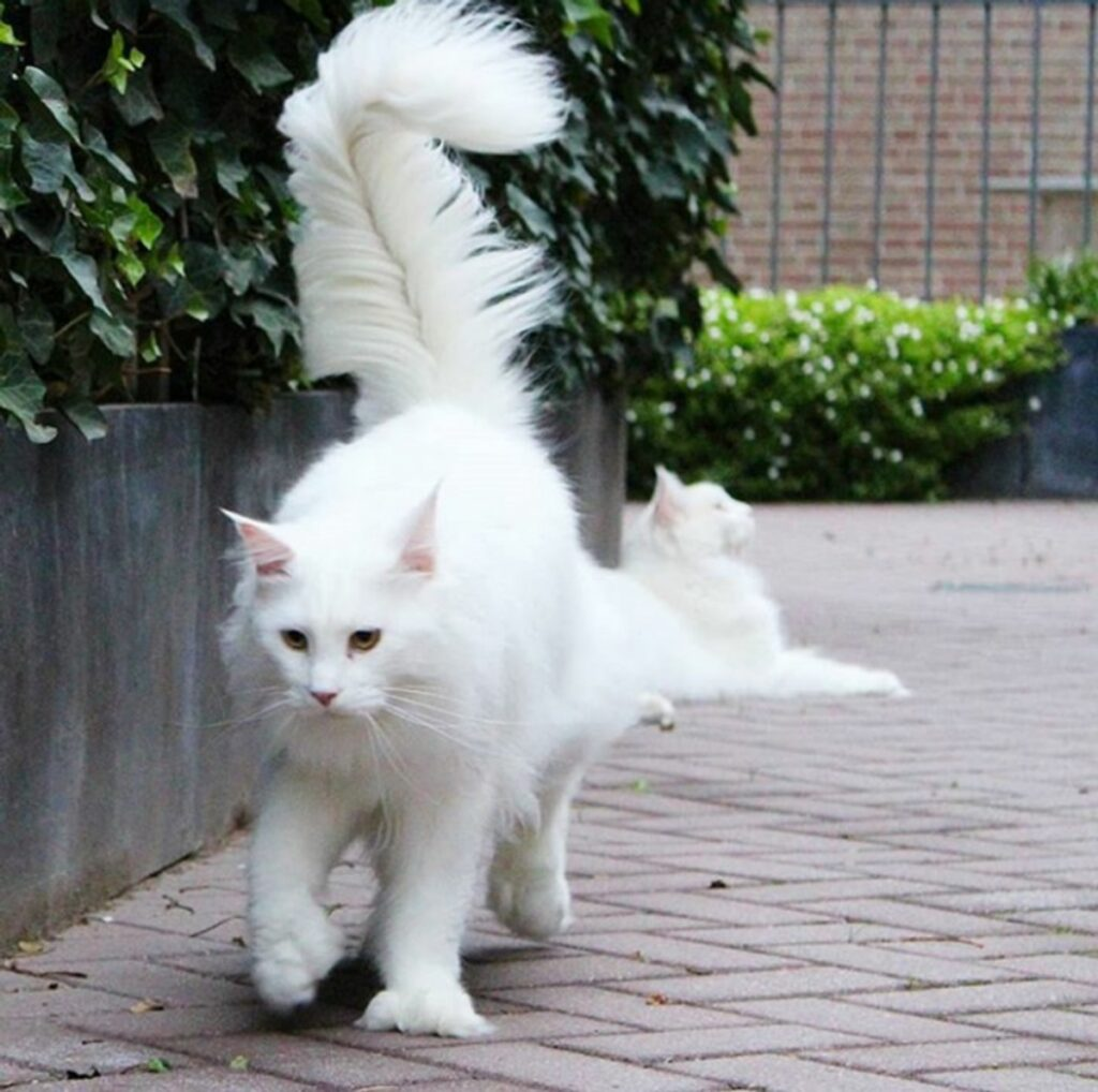micio bianco cammina
