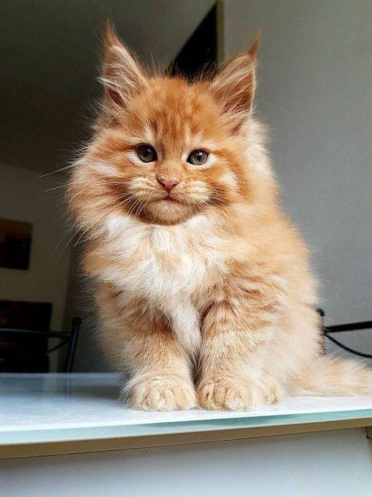 micio piccolo leone