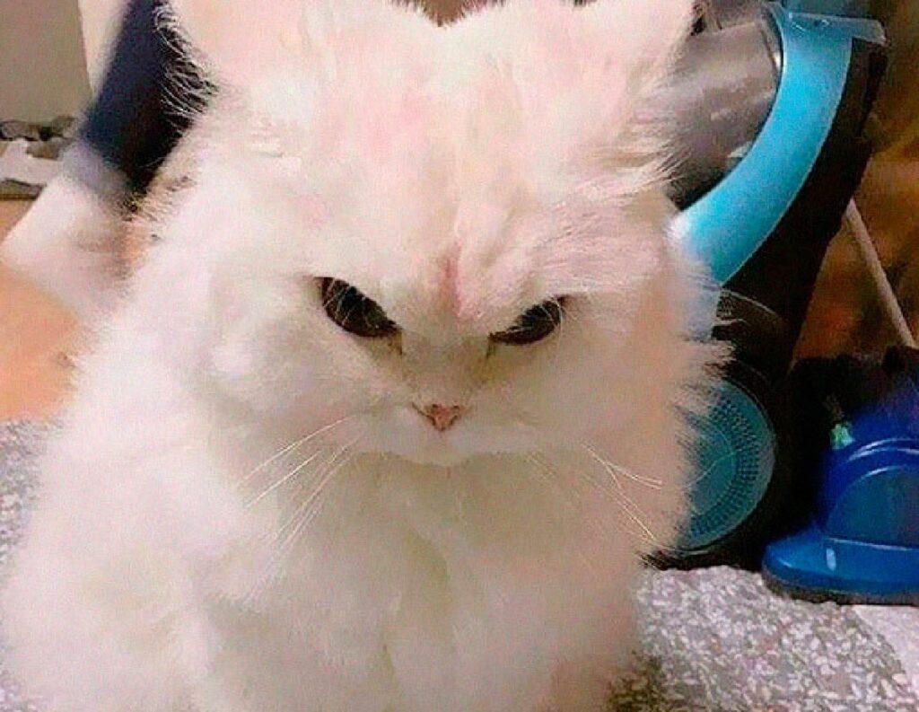 gatto bianco arrabbiato
