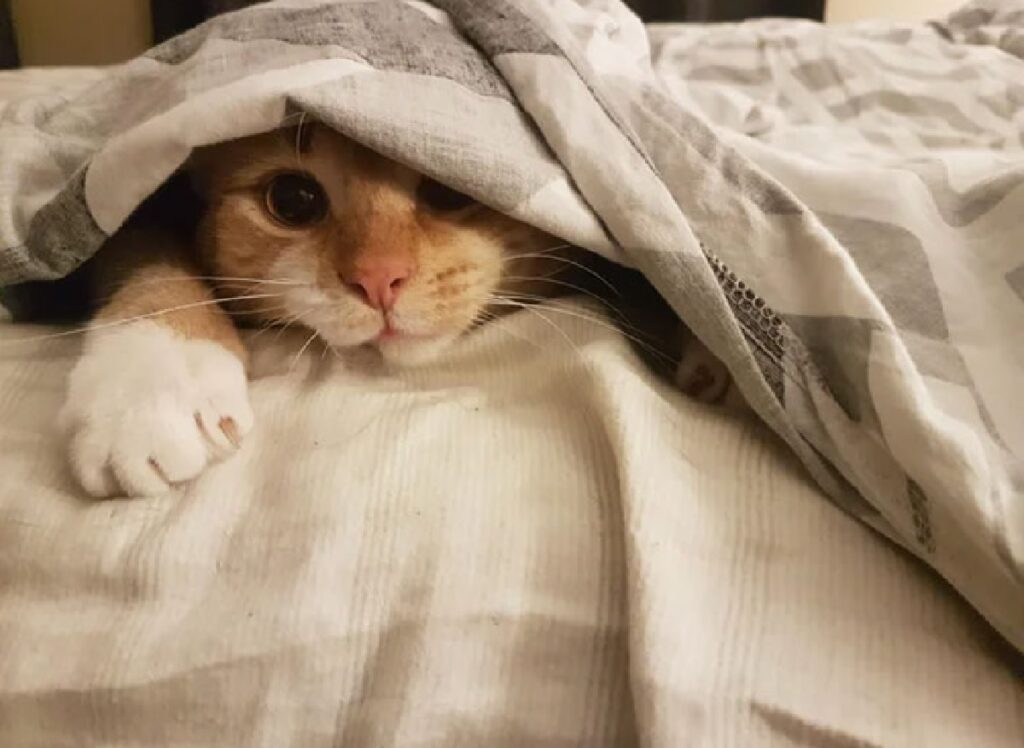 gatto rosso testa sbuca da lenzuola