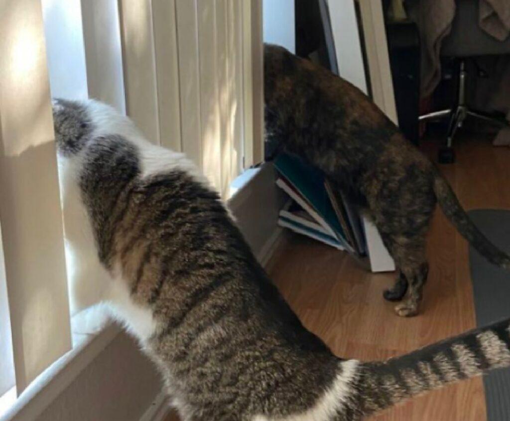 spionaggio gatti di coppia