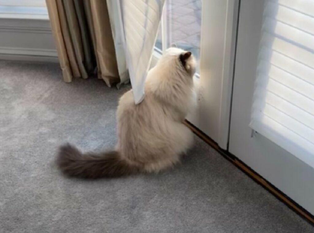 gatto persano tendina bianca