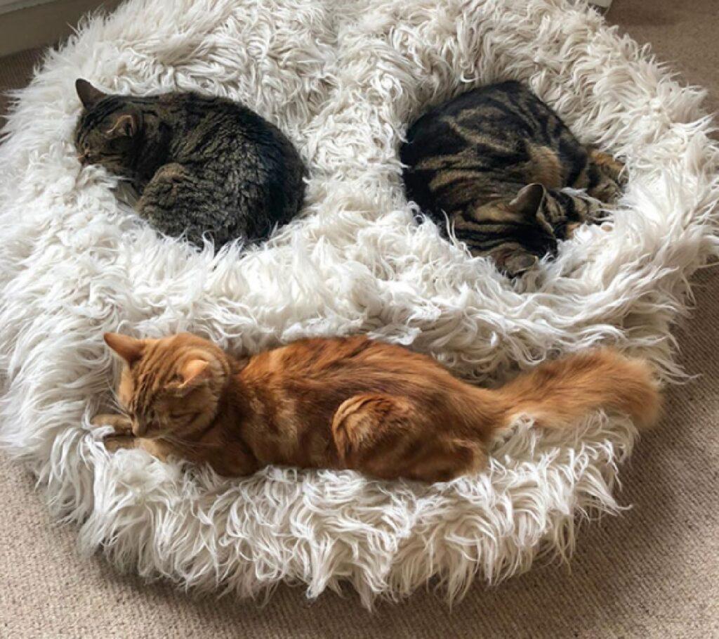 gatti trio formano faccia