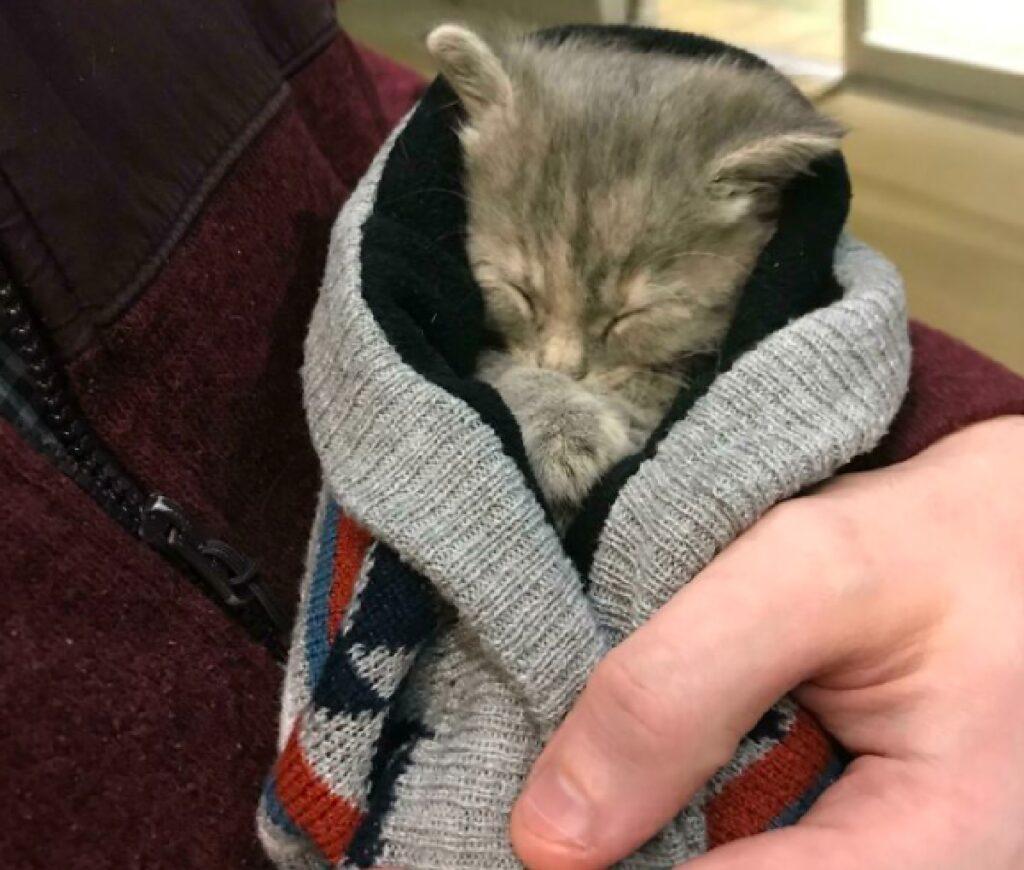 gatto grigio dentro coperte