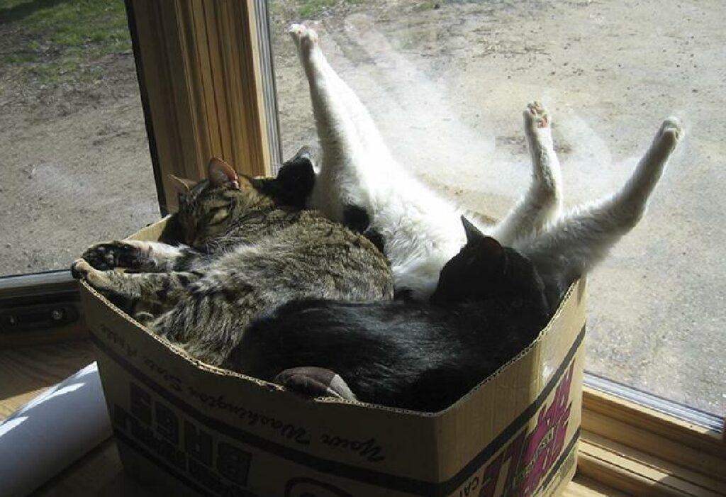 gatti dentro scatola raggruppati