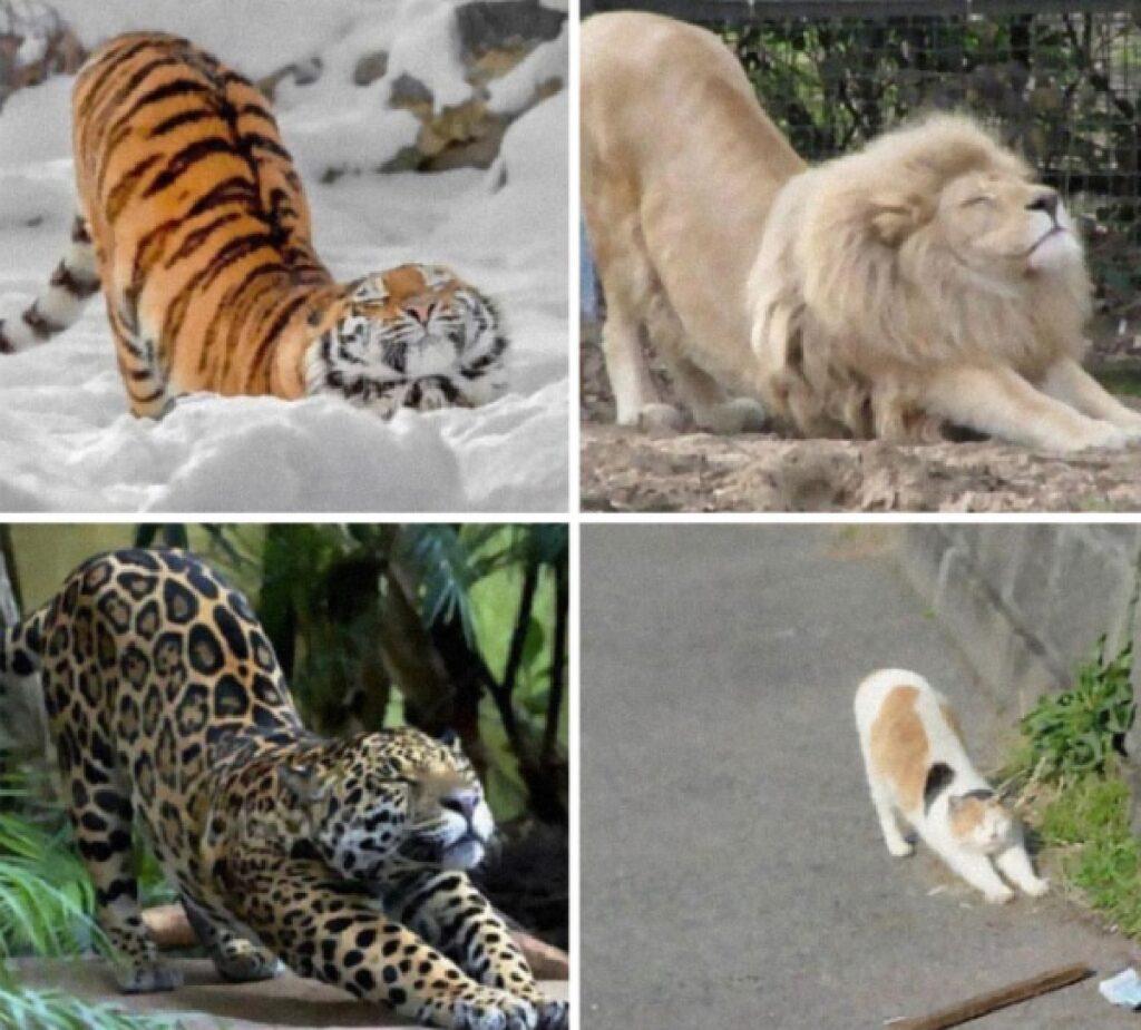 gatto messo in relazione altri felini