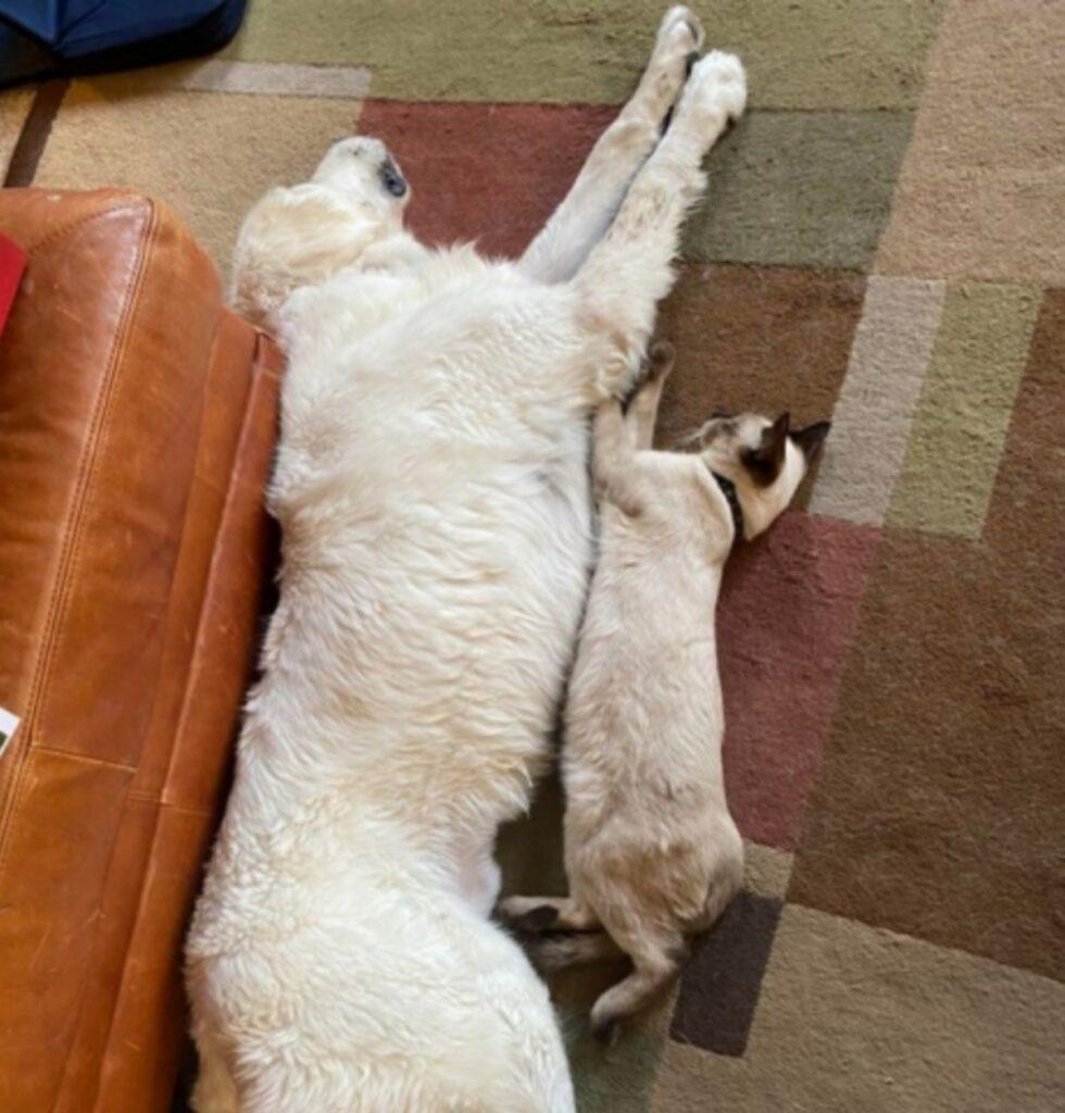gatto allungato relax