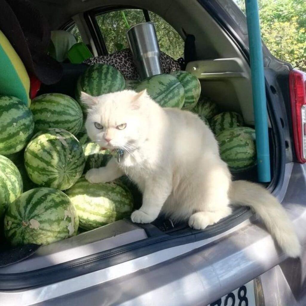 angurie gatto bianco