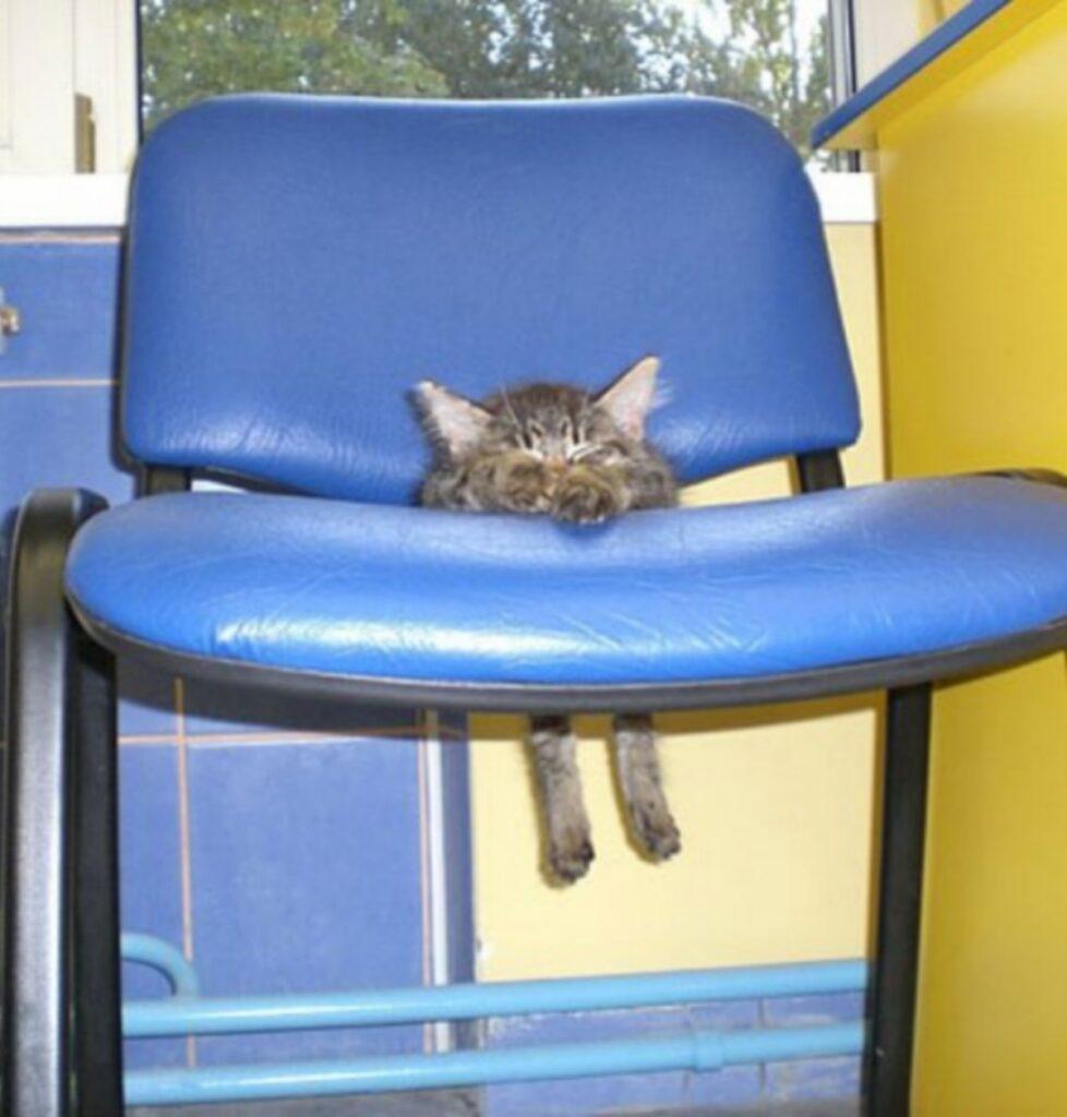 gatto sedia blu