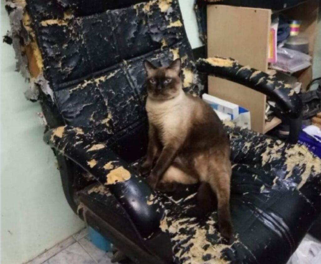gatto siamese condizione sedia