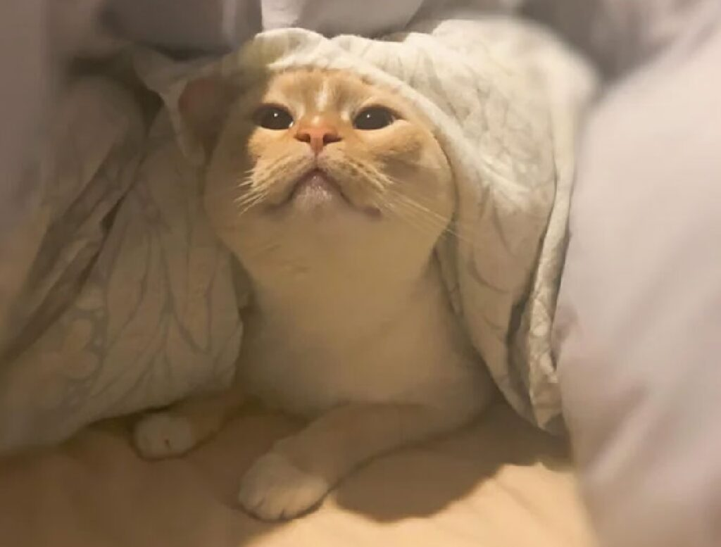 gatto alza testa sotto lenzuola