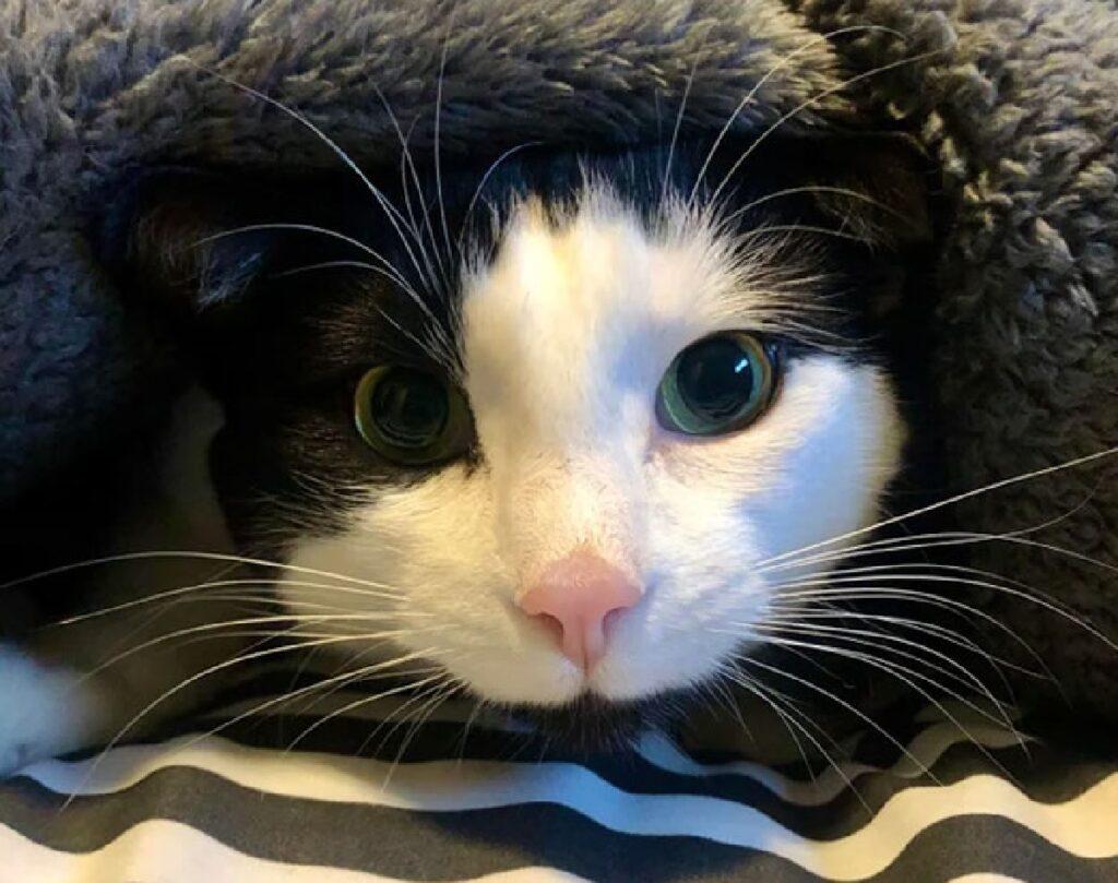 gatto bianco nero musetto