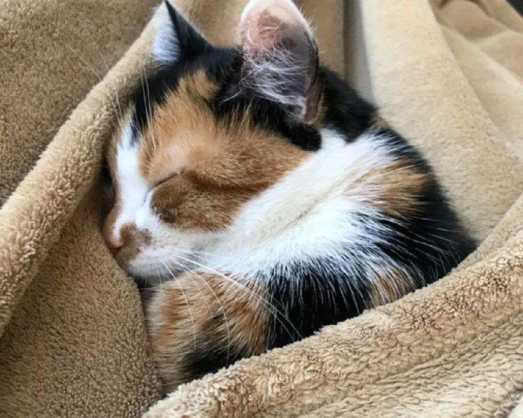 gatto calico pelo abbinato