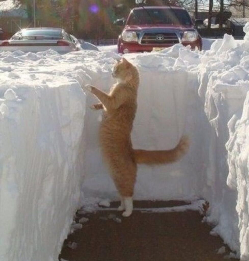 felino muro nevoso