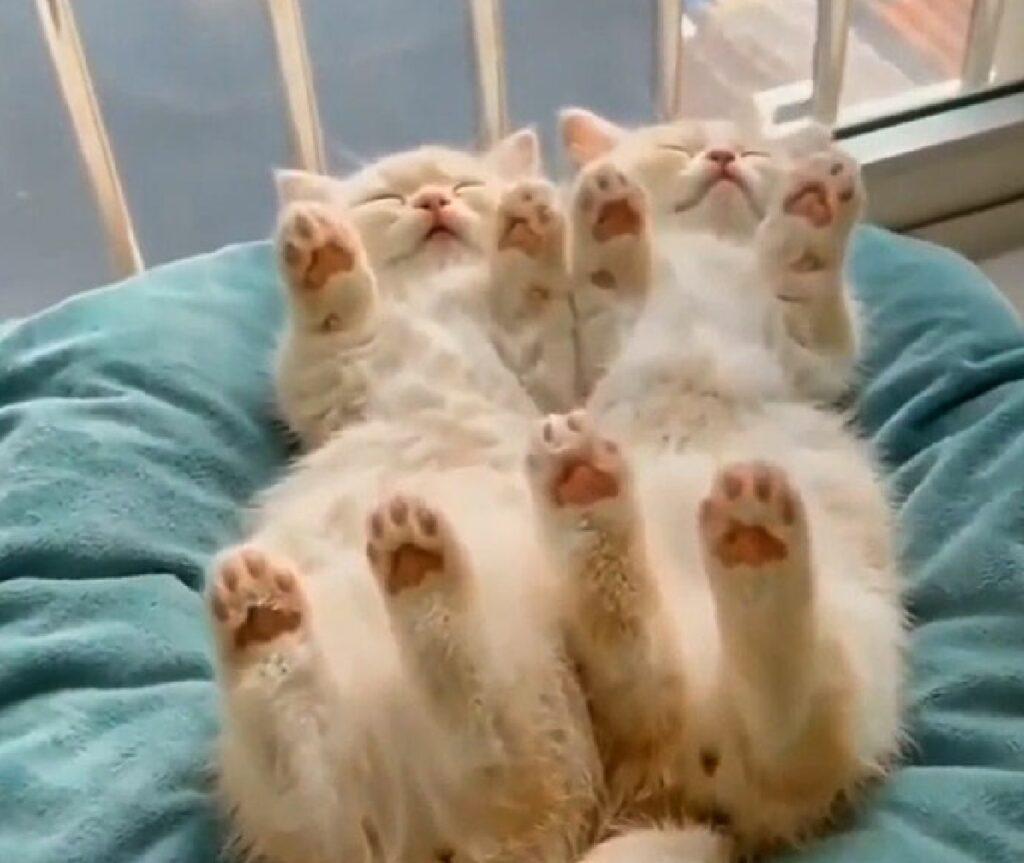 gattini fratelli dormono allo stesso modo