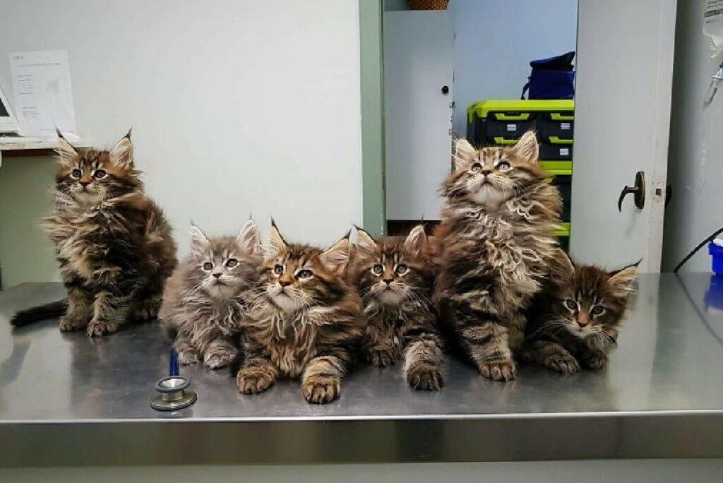 gruppo gatti maine coon