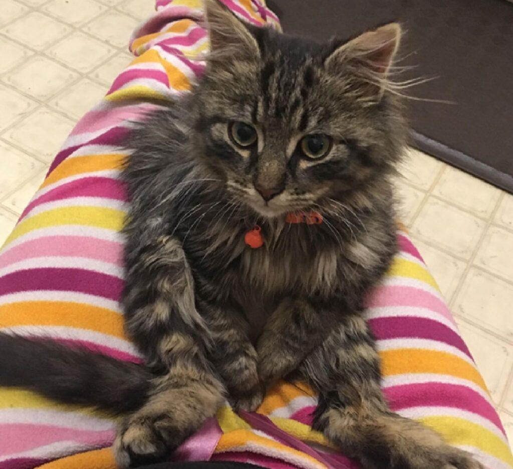 gatto peloso seduto su gambe