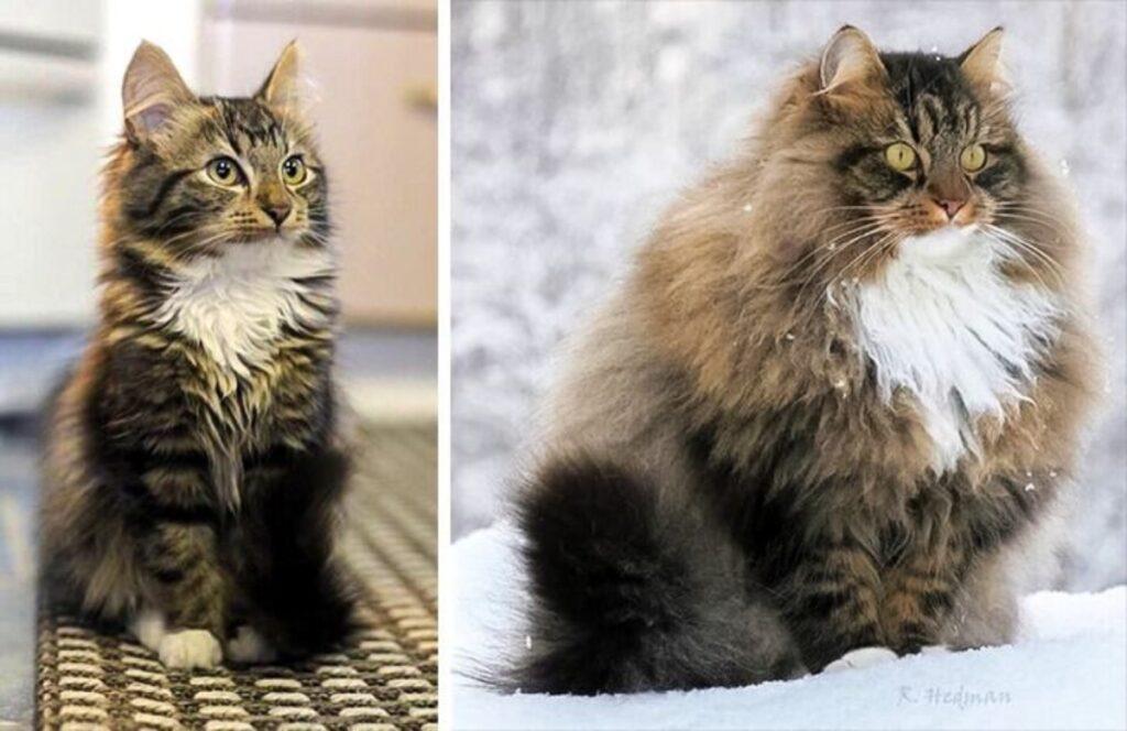 gatto peloso crescita