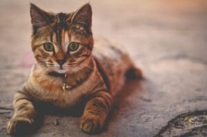 micio dolce tigrato